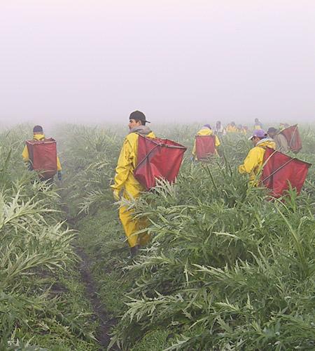 harvesting-workers